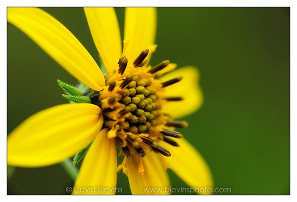 Schweinitz's Sunflower