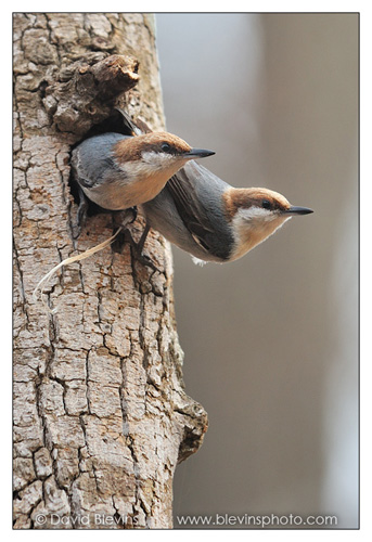 Brown-headed Nuthatch Pair