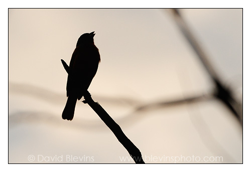 Painted Bunting Silhouette
