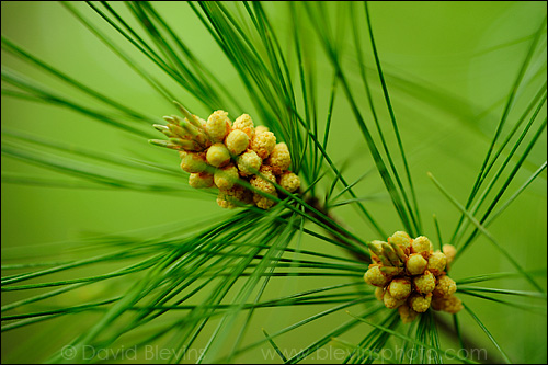 This image shows the white pine pollen cones with no flash, just using the available light. The problem with this image for me is the background is so much brighter than the foreground.   - David Blevins