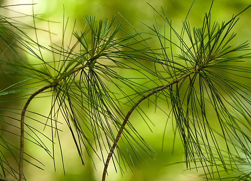There are lots of things we see every day, that we take for granted and do not see anything special about it.  David asked us to focus on photographing white pine needles.  It was an interesting process, I explored many thoughts that surfaced based on what I was seeing.  This one reminds me of a couple dancing.  It feels happy to me.   - Kim Hawks