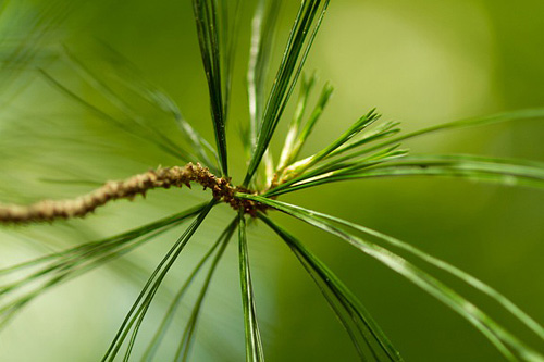 I tried to capture the delicacy and elegance of the white pine foliage.   - Maggie Zwilling