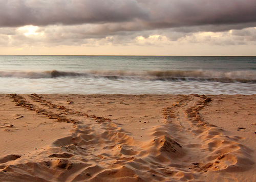 Sea turtle tracks.   - Kim Hawks