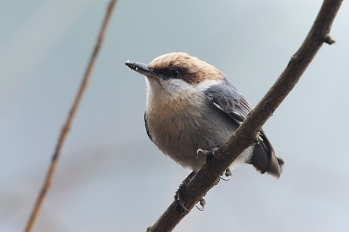 While discussing composition I was distracted by this brown-headed nuthatch.