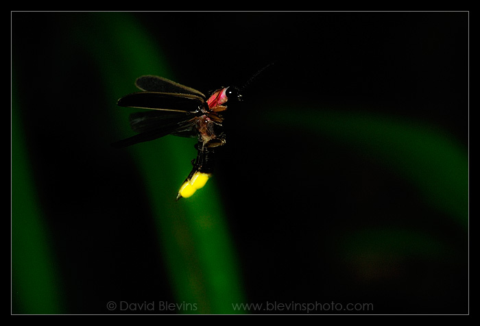 Common Eastern Firefly (Photinus pyralis)