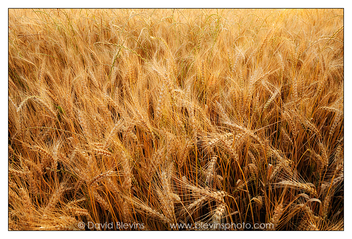 Chatham County Wheat Field