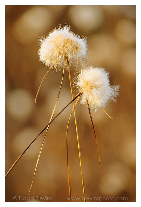 Cotton-grass
