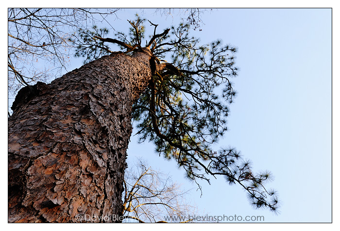The Oldest Longleaf Pine #1