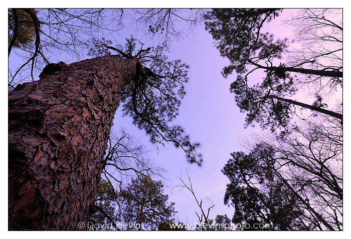 The Oldest Longleaf Pine