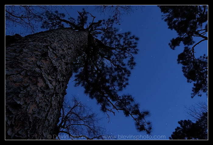 The Oldest Longleaf Pine #3