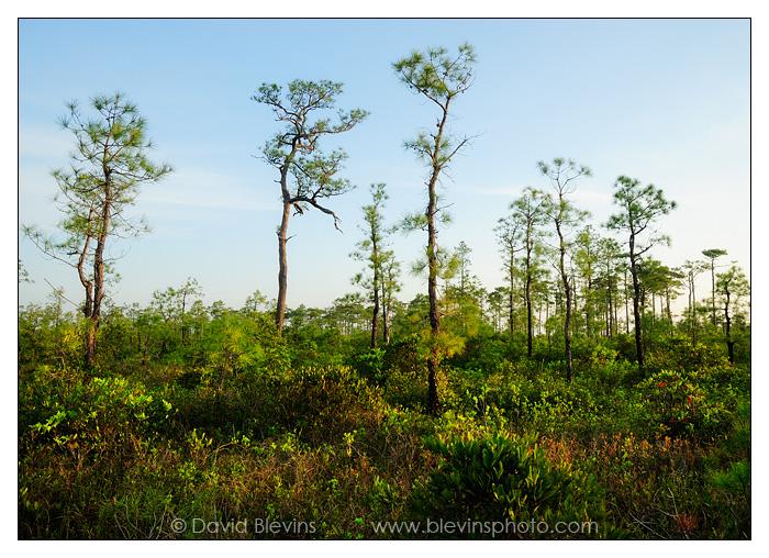 Pocosin wilderness croatan national forest north carolina for Croatan national forest cabins