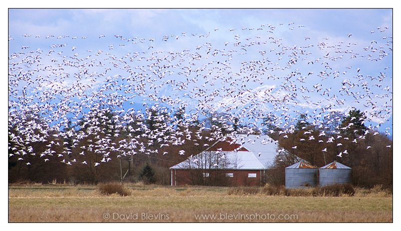 Snow Geese over the Alaksen National Wildlife Area