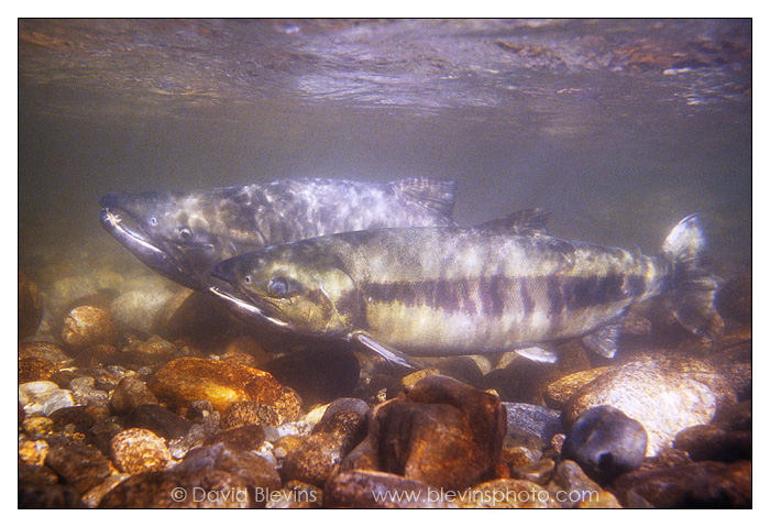 Spawning Chum Salmon