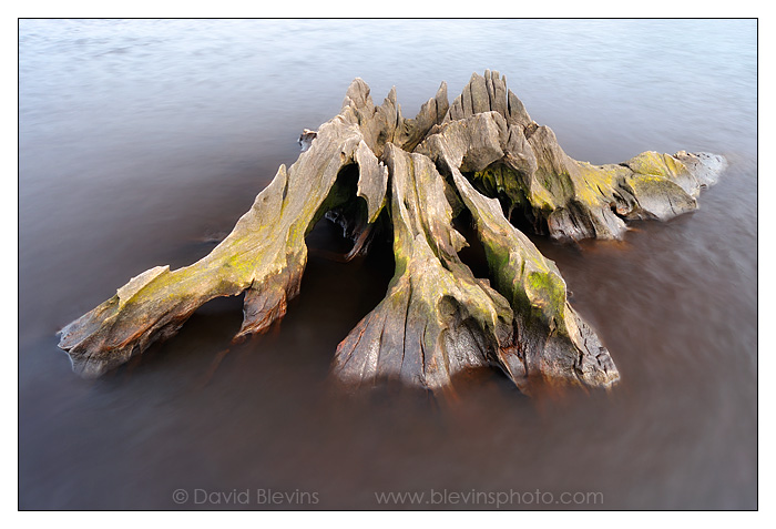 Weathered Cypress Stump #2