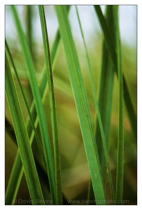 Saw Grass - David Blevins Nature Photography